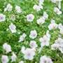 Geranium clarkei Kashmir White Plants