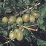 Gooseberry Invicta Plant