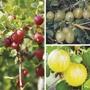 Season Long Gooseberry Plant Collection