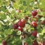 Gooseberry Hinnonmaki Red Plant