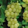 Grape Phoenix potted vine