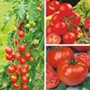 Grafted Tomato Collection