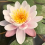 Water Lily Marliacea Carnea Pond Plant
