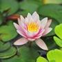 Miniature Water Lily Pygmaea Rubra Pond Plant