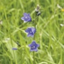 Wildflower Harebell plants
