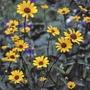 Heliopsis Summer Nights Flower Plants