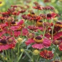 Helenium Helena Red Shades