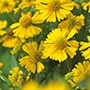 Helenium Mariachi Sombrero Flower Plants
