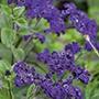 Heliotrope Midnight Sky Flower Plants