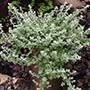 Helichrysum Silver Mist