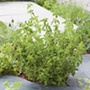 Origanum Hot 'n' Spicy Herb Plant