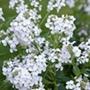 Hesperis matronalis White Plants