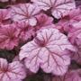 Heuchera Berry Smoothie Flower Plants