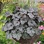 Heuchera Glitter Flower Plants