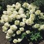 Hydrangea paniculata Silver Dollar Plant