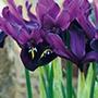 Iris reticulata George