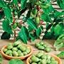 Kiwi arguta Issai Fruit Plant