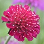 Knautia macedonica Flower Plants