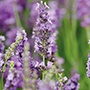 Lavender Heavenly Scent Plants