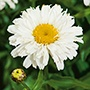 Leucanthemum Freak! Plants