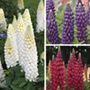 Lupin Plant Collection