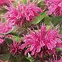 Monarda Pink Lace Plants