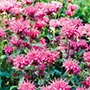 Monarda Bee Lieve Flower Plants
