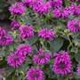 Monarda Bee Free plants
