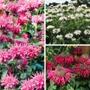 Monarda Bee Flower Plant Collection