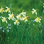 Narcissi W.P. Milner Bulbs