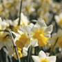 Narcissus Golden Echo Bulbs