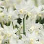 Narcissus Toto Bulbs