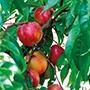 Nectarine Honey Kist 2yr old tree