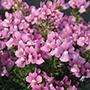 Nemesia Karoo Pink Flower Plants