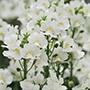 Nemesia Karoo White Flower Plants