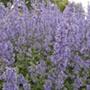 Nepeta Summer Magic Plants