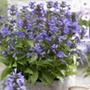 Nepeta Neptune Plants