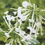 Nicotiana sylvestris Flower Plants