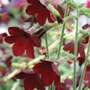 Nicotiana Baby Bella Flower Plants