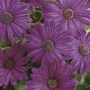 Osteospermum Serenity Dark Purple Plants