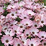 Osteospermum Serenity Pink Magic Plants