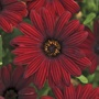 Osteospermum Serenity Red Plants