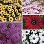 Osteospermum Serenity Plant Collection