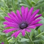 Osteospermum Tresco Purple Plants