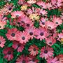Osteospermum Serenity Rose Magic Plants