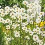 Oxeye Daisy Plants
