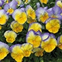 Pansy Cool Wave Blueberry Swirl F1 Plant