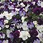 Pansy Cool Wave Berries 'n' Cream Mixed