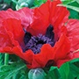 Papaver Beauty of Livermere Plants
