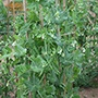 Pea Alderman Plants (Maincrop, climbing)